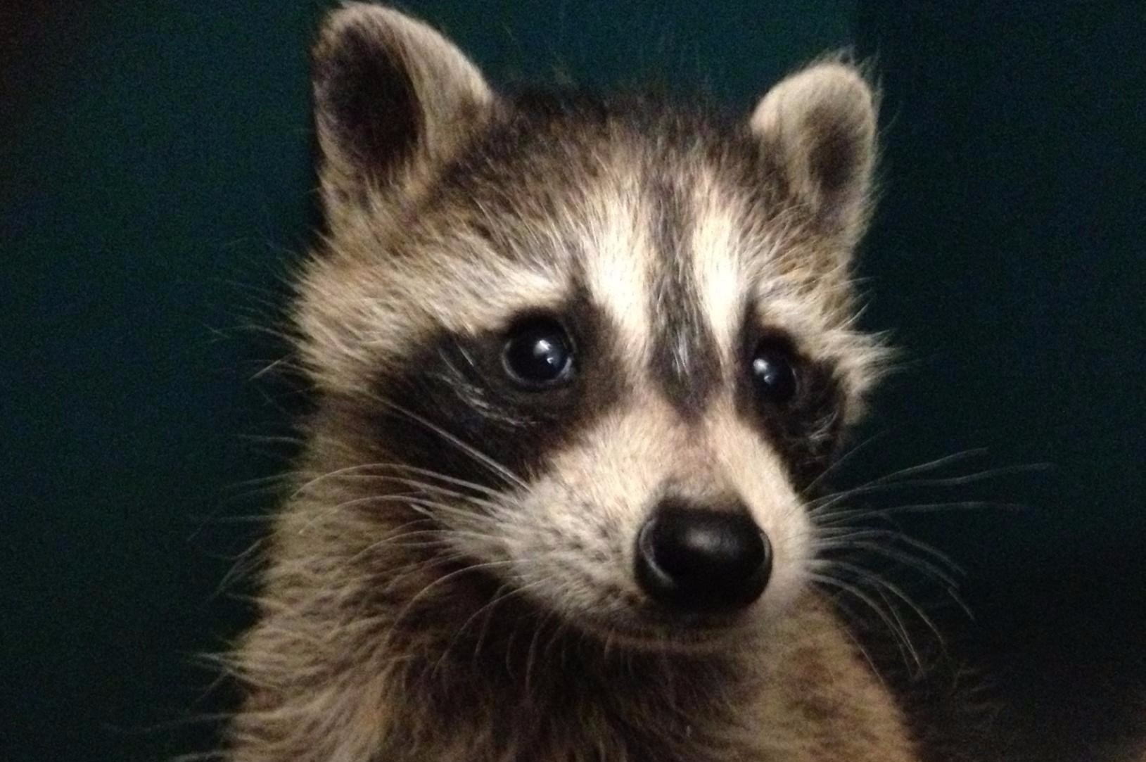 nebraska wildlife rehab inc wildlife help nuisance wildlife