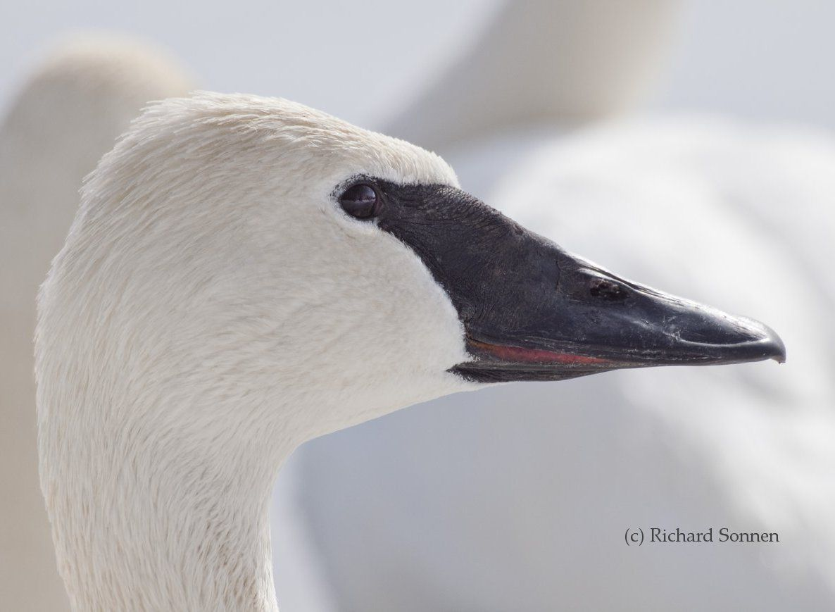 Above: Trumpeter Swan head profile