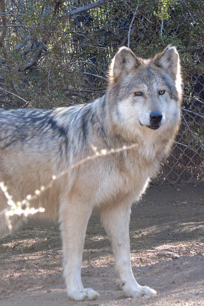 F938 Winema Mexican Gray Wolf Southwest Wildlife Scottsdale Arizona