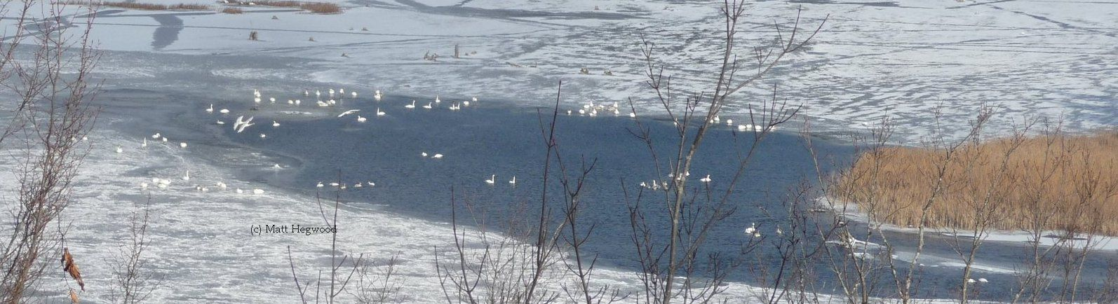 Check out our United States Swan links for great information about Trumpeter Swans
