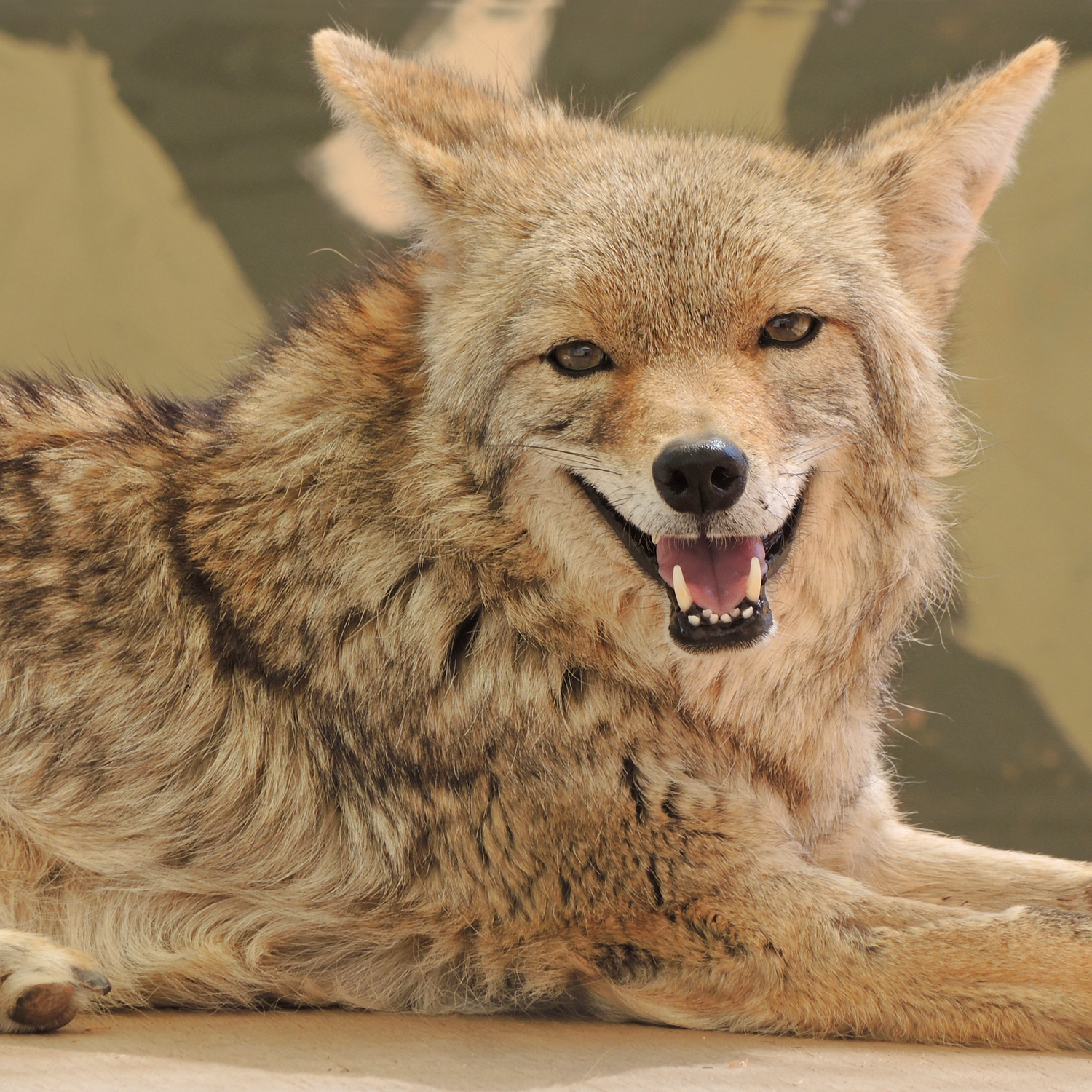 Shorty Coyote