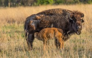 Calving Season Pushes Bison Herd to Over 70