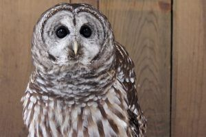 Willow the Barred Owl