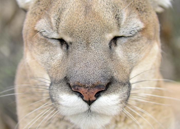 Tocho - Mountain Lion Sleeping