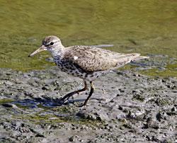 Spotted Sandpiper (breeding plumage)