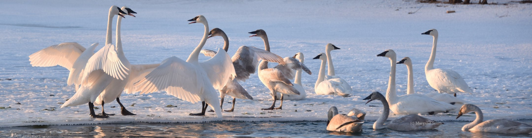 News about Trumpeter Swan issues, progress, events, and history are all found here