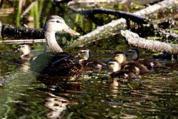Mottled Duck (adult and ducklings)