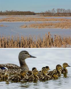 Spring Wetlands Outlook: Below-Average Conditions for Nesting Ducks