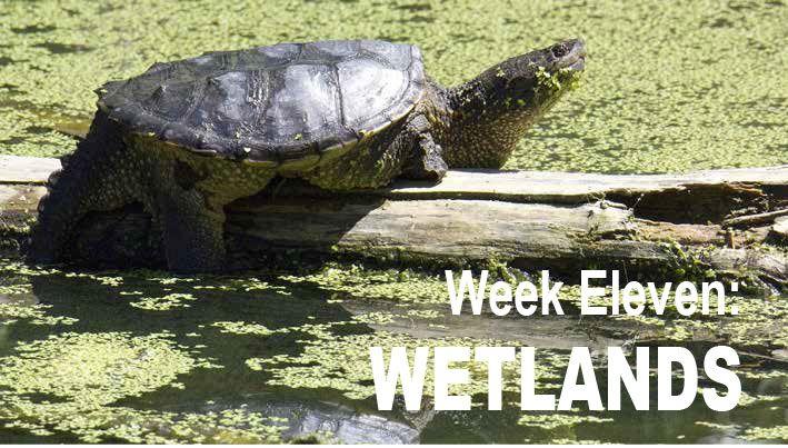 Audubon at Home: Week Eleven - Wetlands