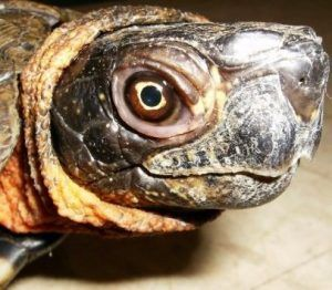 Woody the Wood Turtle