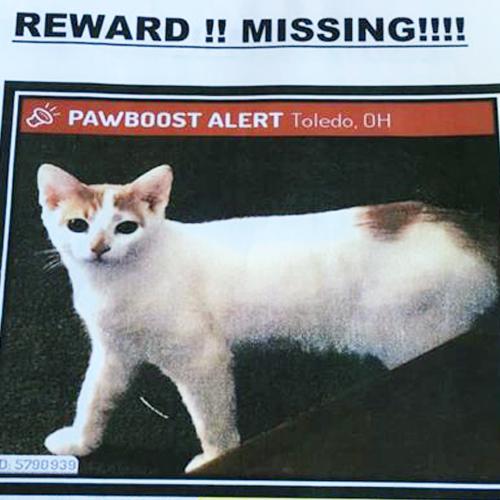 LOST: Cat (Simba)