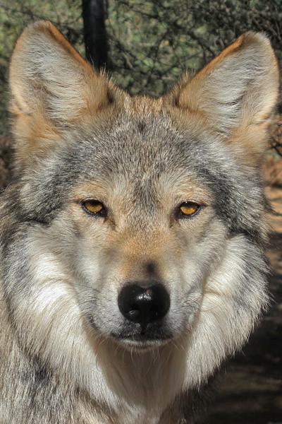M942 Brio Mexican Gray Wolf Southwest Wildlife Scottsdale Arizona