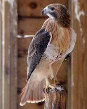 Race, the Red-tailed Hawks