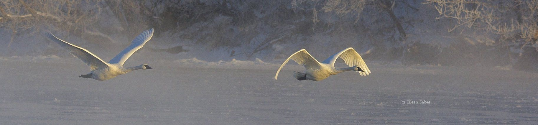 The Trumpeter Swan Society is located in Plymouth, MN. Our mission is to assure the vitality and welfare of wild Trumpeter Swans