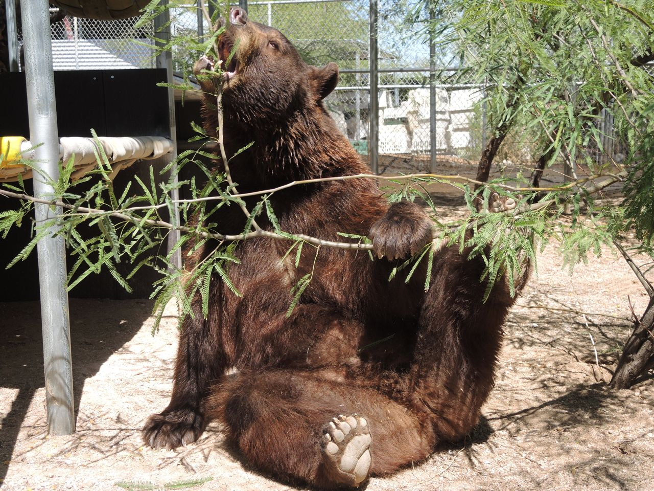 A bear, however hard he tries, grows tubby without exercise.  ~ A.A. Milne.