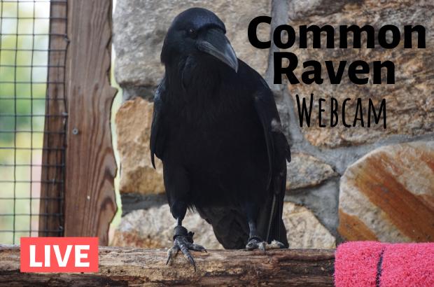 Raven Cam