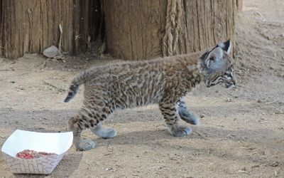 Bobcat kitten rehabilitation Southwest Wildlife