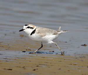 Beak of the Week: Snowy Plover