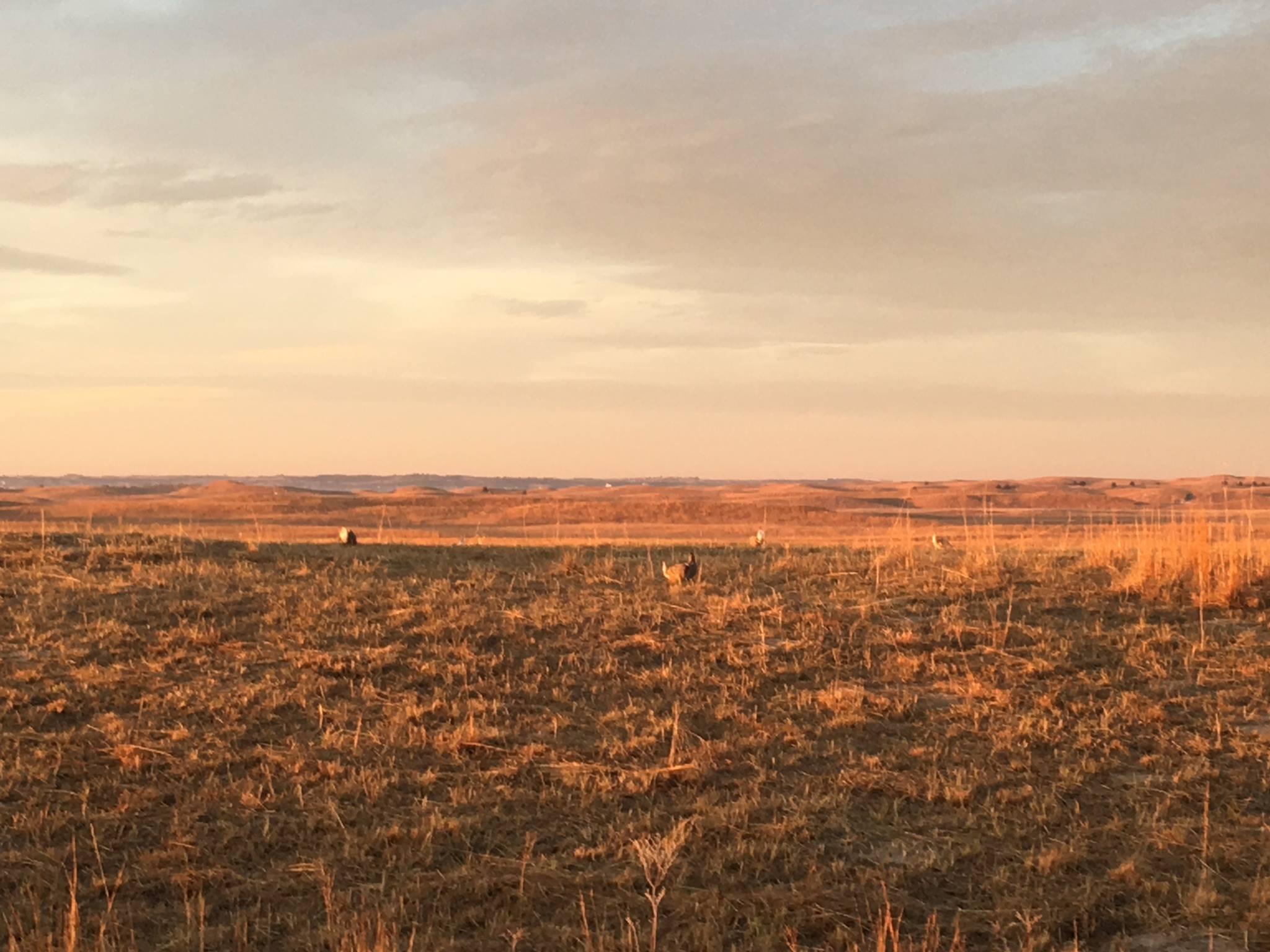 CE: Great Prairie Chicken and Sandhills Tour