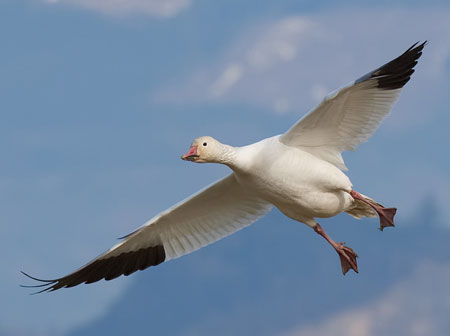 Snow Goose Adult