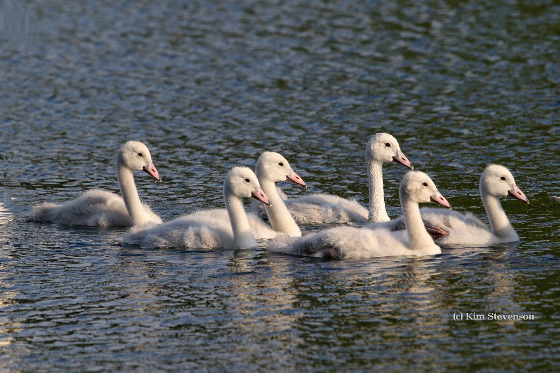 Trumpeter Swan cygnets grow rapidly during their first three months