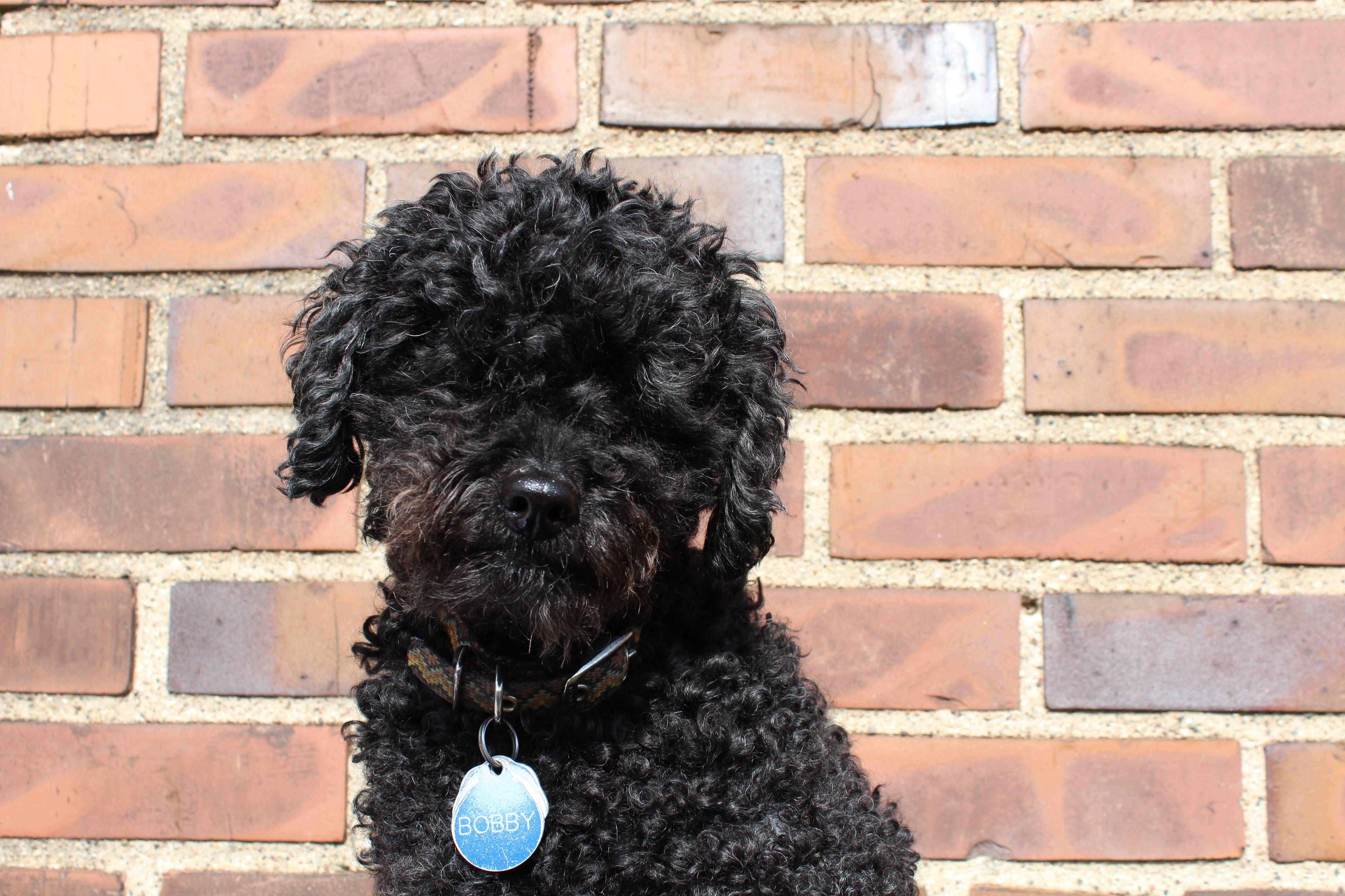 Bob the Office Dog