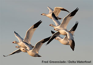 Ross's Geese Fair Game in Canada