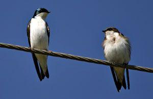 Beak of the Week: Tree Swallow