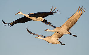 Tennessee Holds First Sandhill Crane Hunt