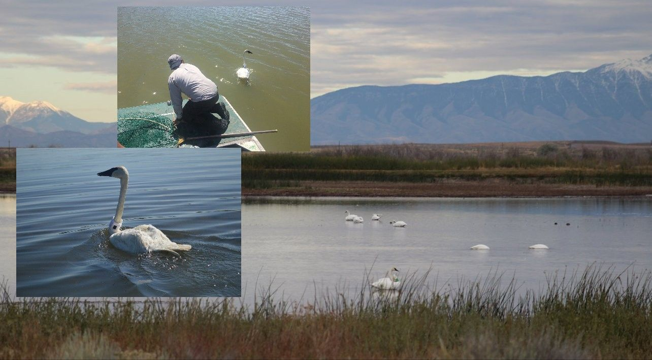 Why are Trumpeter Swans not flourishing southeast Idaho?