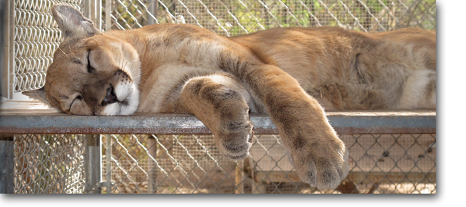 Ash Mountain Lion