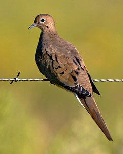 Beak of the Week: Mourning Dove