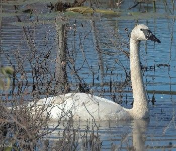 Learn about swans