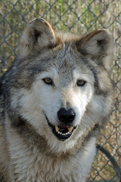 M877 Ghost Mexican Gray Wolf Southwest Wildlife Scottsdale Arizona