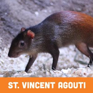 st. vincent agouti