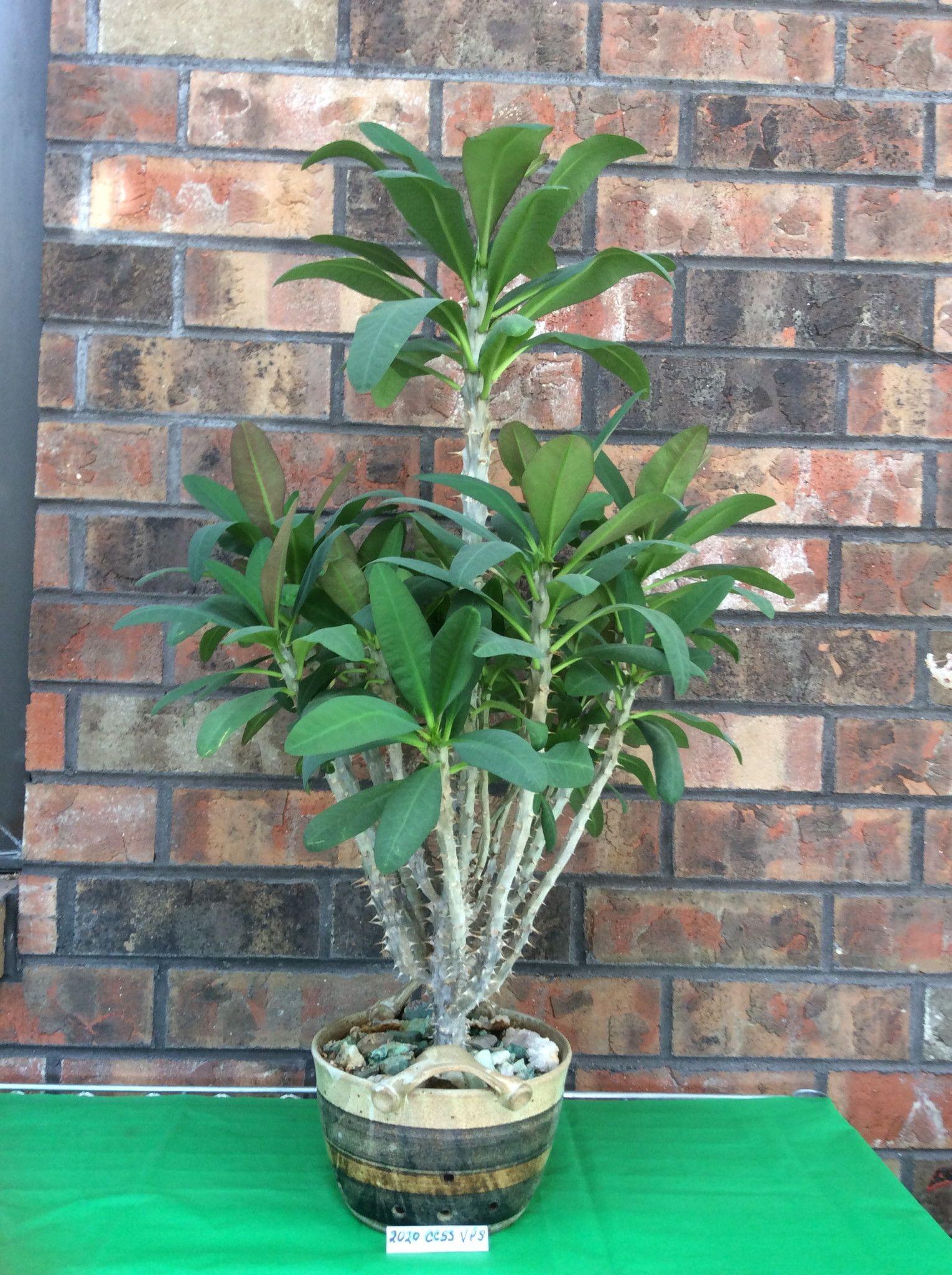 Euphorbia x lomi 'Poysean'