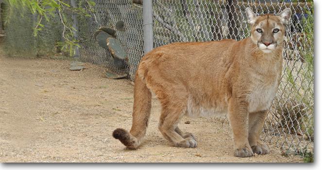 Giselle Mountain Lion Southwest Wildlife