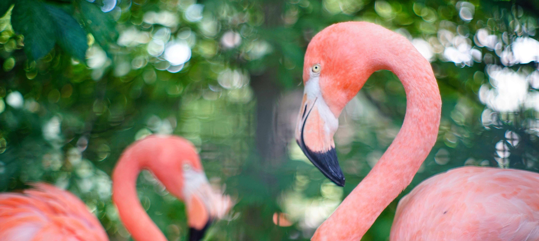 lincoln children u0027s zoo animals birds caribbean flamingo