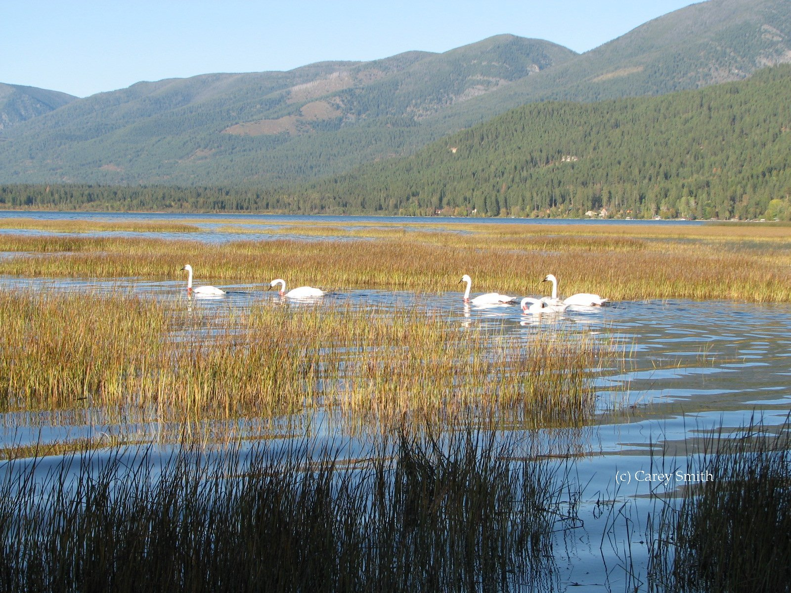 Confederated Salish and Kootenai Tribe's northwest Montana swan restoration