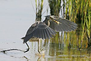 Yellow-crowned Night-Heron (juvenile)