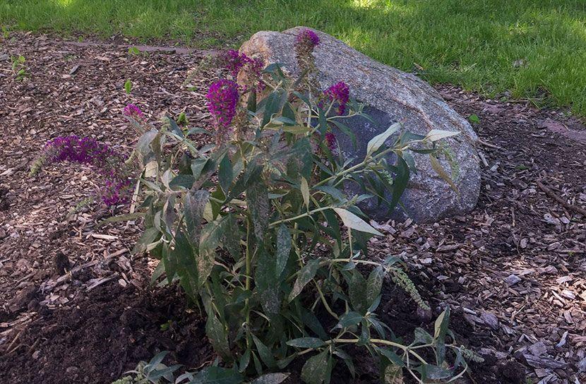 Hospice Memorial Butterfly Bush Dedication - Grand Island