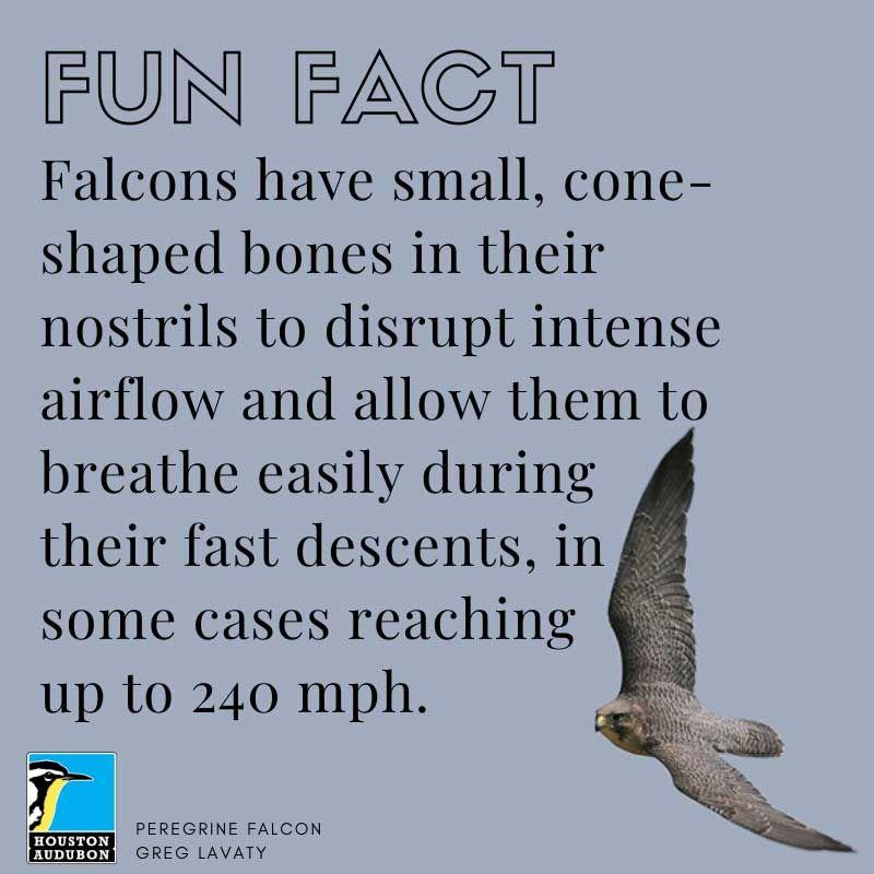 Falcons airflow fun fact