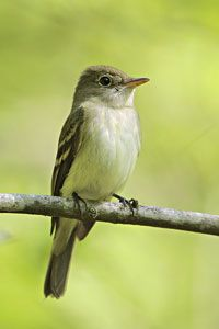 Beak of the Week: Acadian Flycatcher