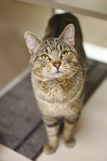 Lincoln Cat Amp Kitten Adoption