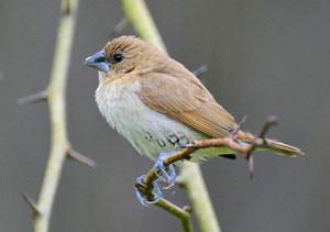 Scaly-breasted Munia (immature plumage)