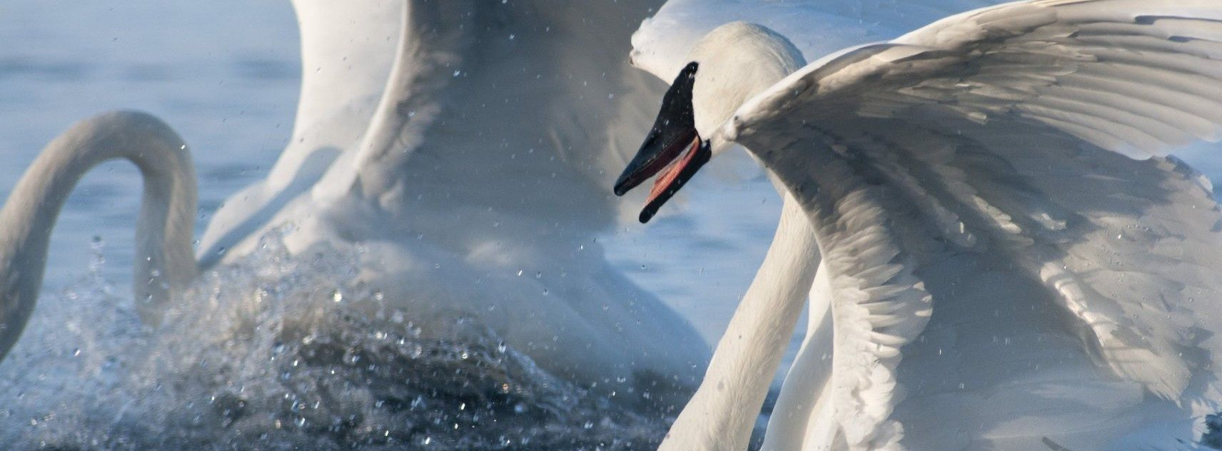 The Trumpeter Swan Society works on swan issues across North America. Learn what we do