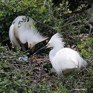 Beak of the Week: Snowy Egret
