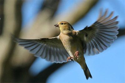 American Goldfinch by Greg Lavaty