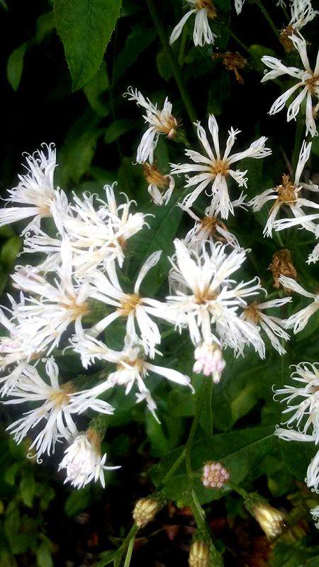 White Ironweed