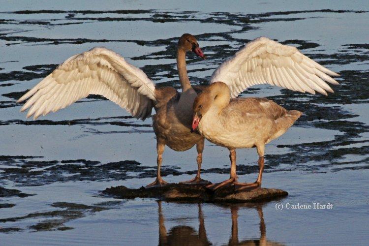My Swan Story - by Carlene H.